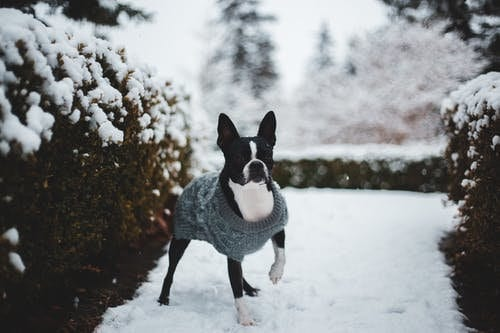 A Boston Terrier outdoors.