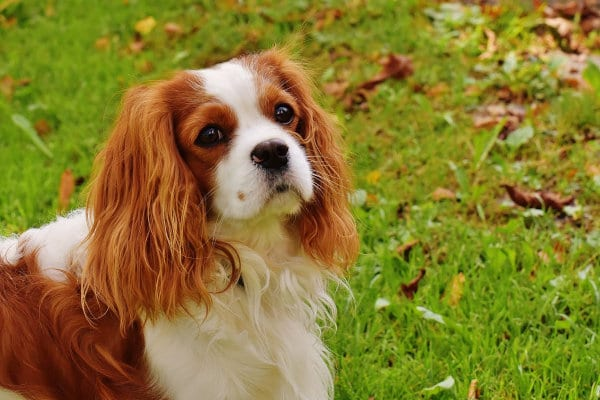 A Cavalier King Charles Spaniel outdoors.