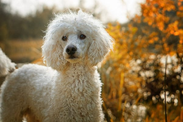 A Poodle outdoors.